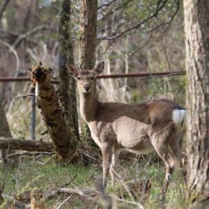 孕み鹿(はらみじか)