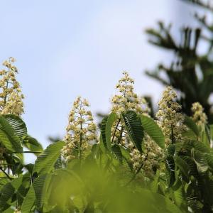 橡(とち)の花