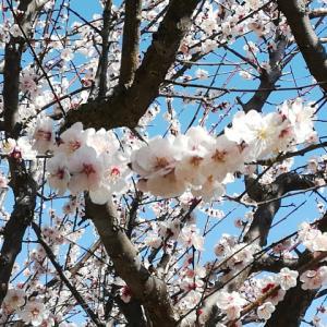 近況など。ミモザのスカーフと桜のコースター進捗