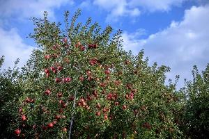 サンふじりんごならびに、しなのスイートりんごご注文承ります