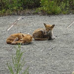 狐(きつね)日和