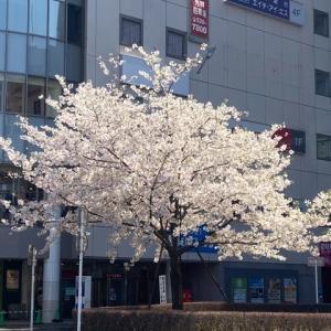せめて満開の桜を