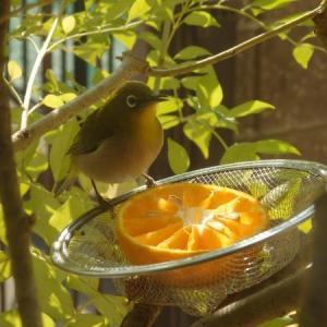 庭に来る鳥たち その4