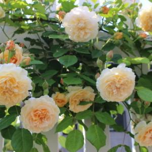 愛するバラ バフビューティー