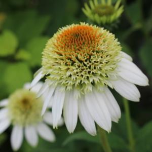 夏の訪れを告げる花♪ エキナセア