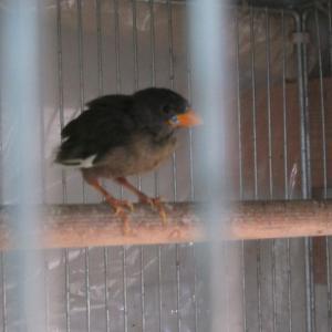 ナンヨーセイコー鳥自育