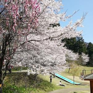 まだまだ桜♪