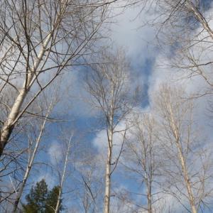 シラカバと青空と白い雲