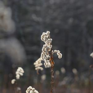 輝く冬のセイタカアワダチソウ…