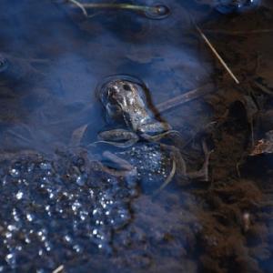 恐るべき繁殖力…カエルの産卵