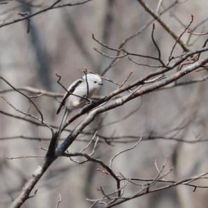 野鳥の妖精…やっぱり可愛いシマエナガ