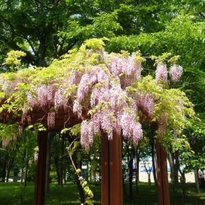 綺麗に藤が咲いていた