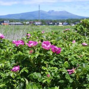 湿原にハマナス咲くころ…