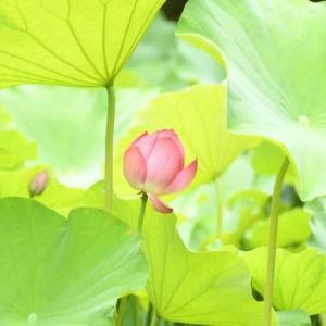奈良で見た美しき蓮の花たち