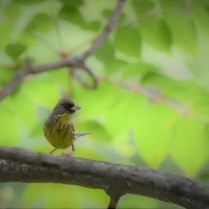可愛い野鳥 アオジくん