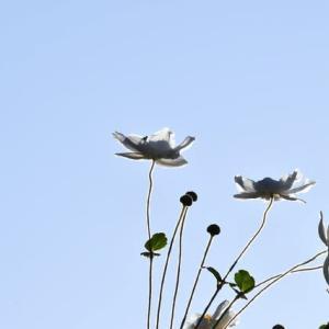 京都のわき役…白い花