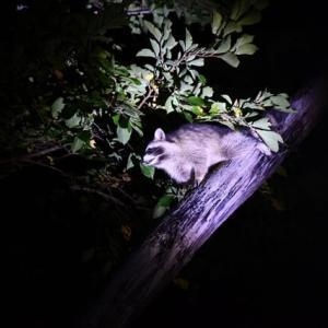 深夜にアライグマ出没…