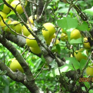 美味しそうな梅の実を見たら、梅酒を作りたくなりました。