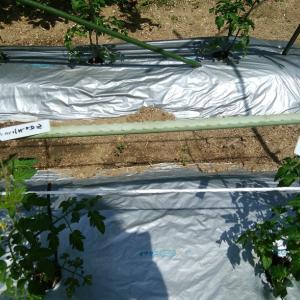 トマト苗の成長