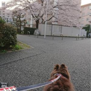 満開の桜、ポメラニアンの想い
