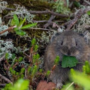 今日もナキウサギの写真です。