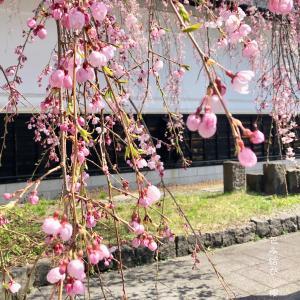 《秋田 角館の桜 》〜日帰り ひとり旅〜