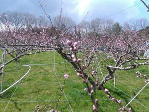 果樹が開花してきました!