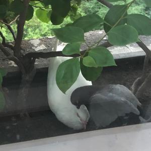 鳩の雛が生まれました