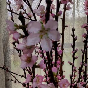 桃の花が咲きました!