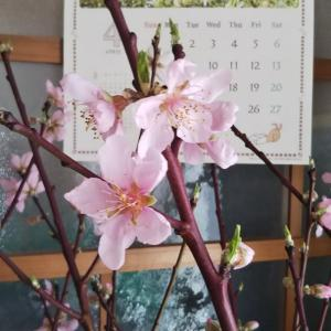 桃の花が咲きました❗️