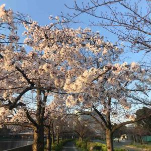 朝ランで満開の桜に遭遇