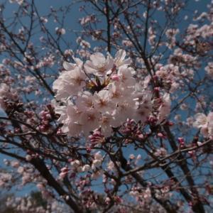 広島でもいよいよ花見本番、でも危険がいっぱい伝わらない思い (2020/3/30)