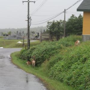 稚内の3日目は霧雨で動きが取れない中、二年振りのエゾシカに会えたので本日は終了だ (2020/8/5)