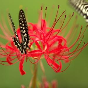 アゲハ蝶は曼珠沙華が好き。
