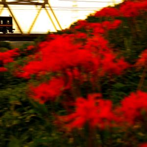 「曼珠沙華と東上線」映える写真を撮りたくて!