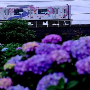おっせい!おっせい!おっせいわ!!梅雨入りしたけど紫陽花終わりかけていましたよ。