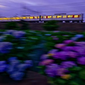 紫陽花と東上線(夕景バージョン)