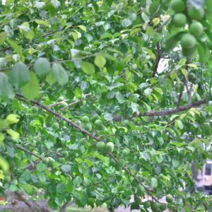 梅の里越生線とセイジクリーム
