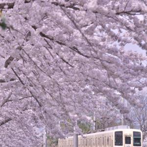 【満開の桜とセイジクリーム】