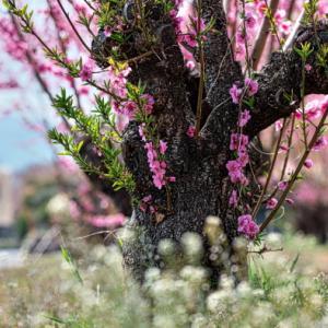 桃の花とセイジクリーム