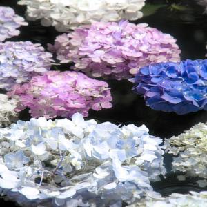 水中の紫陽花