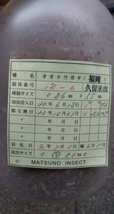 補強&菌糸瓶詰め