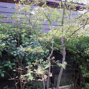 庭のモミジが(-_-;)