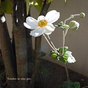 秋庭のレギュラー花