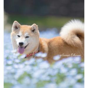 春の花と柴犬