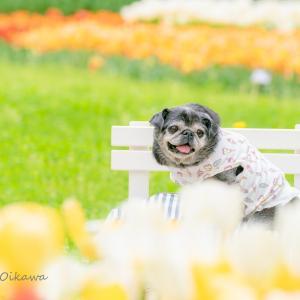 チューリップと愛犬撮影会