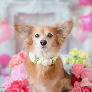 愛犬のお誕生日撮影