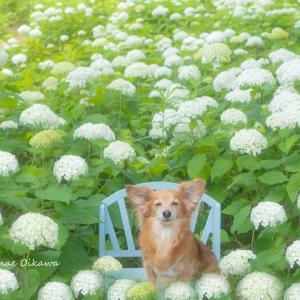 わんこと紫陽花