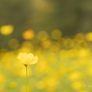コスモス畑で黄色一色の世界