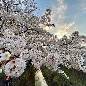 多摩センターは満開の桜!